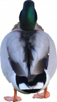 Attached Image: duckback.png
