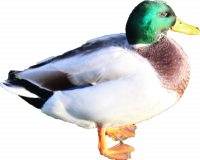 Attached Image: duckside.png