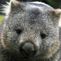 Wombat's Photo